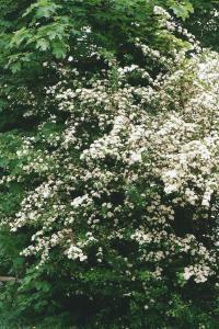 Weißdorn