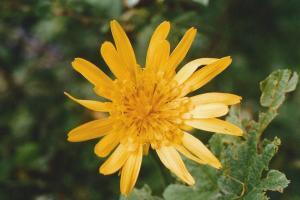 Wiesenbocksbart Blüte
